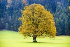 Уединённое большое дерево клена в осени Стоковое Фото