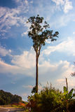 Уединённое высокое дерево на дороге Стоковое Изображение