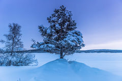 Уединённое дерево в Jukkasjarvi, Швеции стоковое фото rf