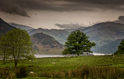 Уединённое дерево и овцы в ландшафте района озера широком Стоковое Изображение RF