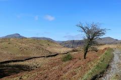 Уединённое дерево на стороне тропы горы, Cumbria стоковые изображения rf
