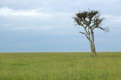 Уединённое дерево на сумраке в злаковиках в Masai Mara в Кении, Африке Стоковое Изображение RF