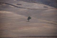 Уединённое дерево на холме, Апулии Стоковые Фотографии RF