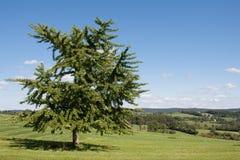 Дерево Gingko Стоковые Изображения