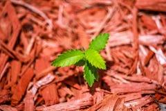 Уединённое зеленое растение с деревянными chippings в предпосылке Стоковое Изображение RF