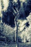 Уединённое мертвое дерево - инфракрасный Стоковое Фото