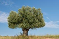 уединённое оливковое дерево Стоковые Изображения RF