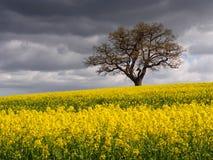 Уединённое поле Мельбурн дерева и рапса Стоковое Изображение RF