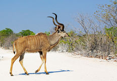 Уединённое kudu быка идя через белую пылевоздушную дорогу Стоковое Фото