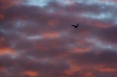 Уединённое Silhouetted летание гусыни в красивом небе захода солнца Стоковые Фотографии RF