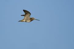 Уединённое Wilson& x27; s стрелять летание в голубом небе Стоковая Фотография