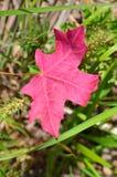 Уединённые красные лист Стоковые Изображения