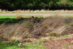 Уединённые красные олени отдыхая в длинной траве Стоковое Фото