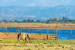 Уединённый азиатский слон Стоковые Изображения RF
