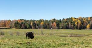 Уединённый американский буйвол поля в лесе Стоковое Изображение