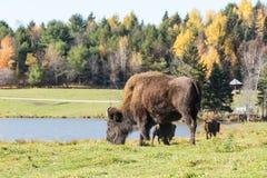 Уединённый американский буйвол поля в лесе Стоковые Фотографии RF