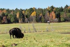 Уединённый американский буйвол поля в лесе Стоковые Изображения RF