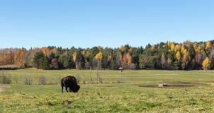 Уединённый американский буйвол поля в лесе Стоковая Фотография RF