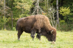 Уединённый американский буйвол поля Стоковые Изображения RF