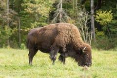 Уединённый американский буйвол поля Стоковое фото RF