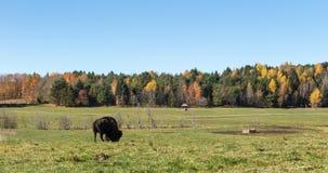 Уединённый американский буйвол поля Стоковая Фотография RF