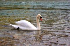 Уединённый белый лебедь на реке Стоковое фото RF