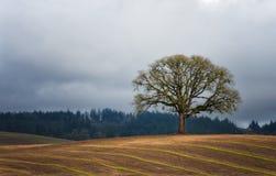 Уединённый белый дуб в поле стоковое фото rf