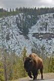Уединённый буйвол Стоковая Фотография RF