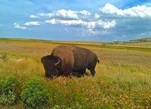 Уединённый буйвол стоковое изображение rf