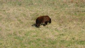 Уединённый бурый медведь есть траву стороной дороги сток-видео