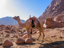 Уединённый верблюд на горе Синай Стоковое Изображение