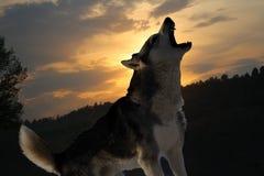 Уединённый волк завывает на заходе солнца стоковое изображение rf