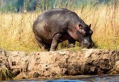 Уединённый гиппопотам на банках реки Chobe Стоковое Изображение