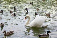 Уединённый лебедь, утки и селезни плавая в озеро Стоковое Фото