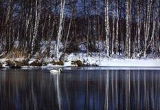 уединённый лебедь Стоковое Фото