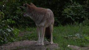 Уединённый койот в древесинах акции видеоматериалы