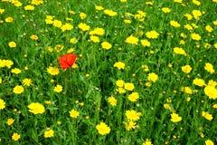 Уединённый красный мак в поле желтых маргариток стоковые фотографии rf