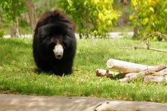 Медведь лени (ursinus Melursus) Стоковые Изображения