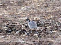 Уединённый молодой Pygoscelis Папуа пингвина Gentoo, ouders остров, Falkland - Malvinas Стоковое Изображение RF