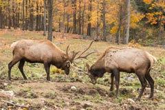 Уединённый олень в лесе Стоковые Изображения RF
