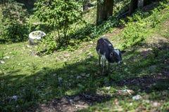 Уединённый поиск коровы для еды на холме Стоковые Изображения