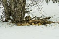 Уединённый рысь отдыхает после того как недавнее убийство оленей Стоковые Фото