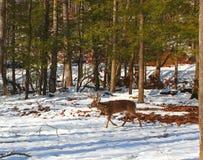 Уединённый самец оленя идет через древесины Стоковые Изображения RF