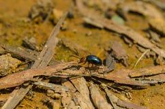 Уединённый сияющий жук делает его путь Стоковое Изображение RF