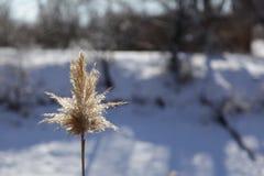 Уединённый тростник Стоковые Изображения