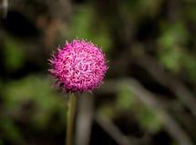 Уединённый фиолетовый Thistle Стоковая Фотография RF