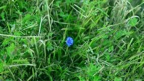 Уединённый цветок цветений cornflowers самостоятельно в зеленом поле в середине травы Цветок Cornflower голубой на зеленом цвете акции видеоматериалы