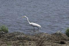 Уединённый Egret в воде Стоковое фото RF