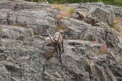 Уединённый Ibex на скале в падении Стоковое Фото