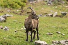 Уединённый Ibex на скале в падении Стоковые Фотографии RF